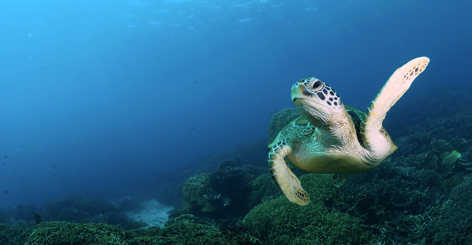 Sea Turtle | Aqura Dive